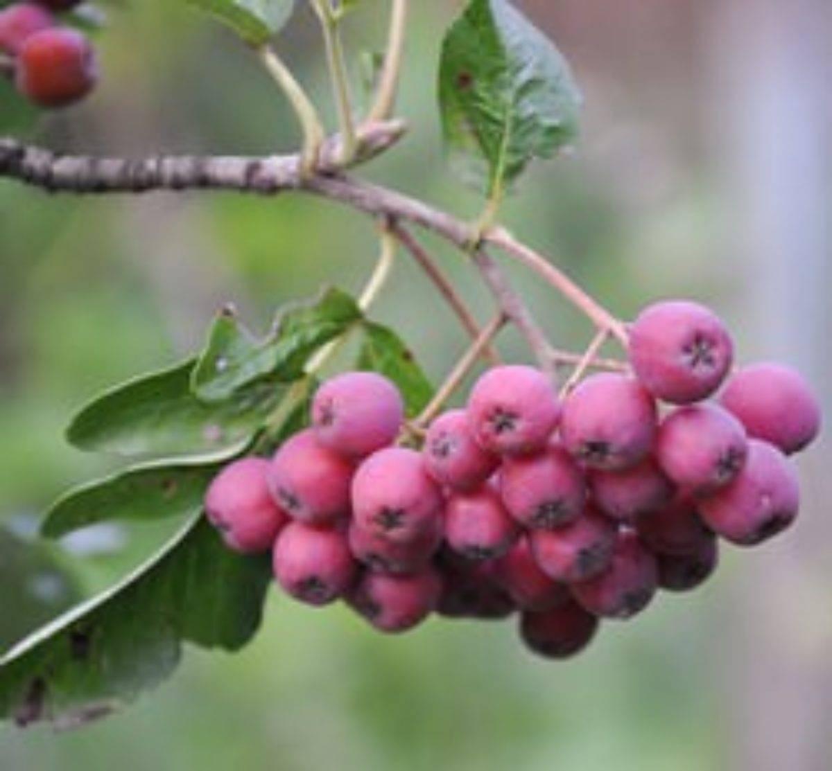 Сорта рябины — самые популярные и вкусные разновидности