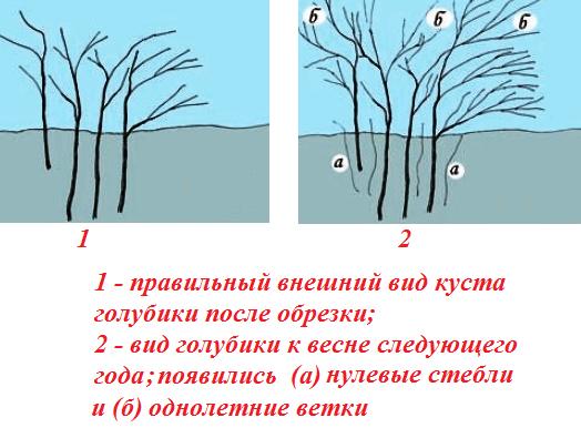Уход за голубикой осенью и подготовка к зиме: удобрение, обрезка и укрытие (мульчирование)