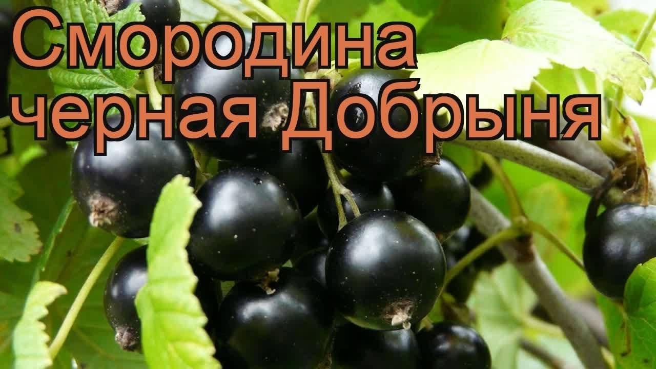 Смородина добрыня - отзывы садоводов говорят сами за себя