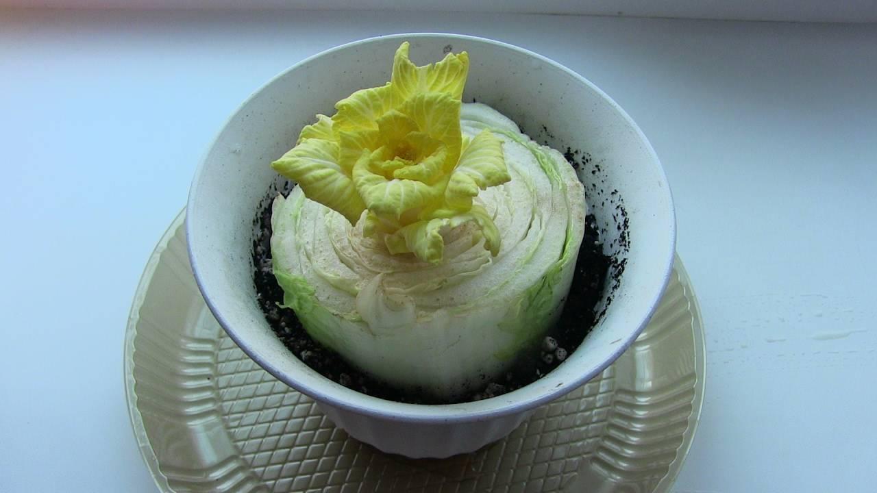 Выращивание пекинской капусты в открытом грунте и теплице