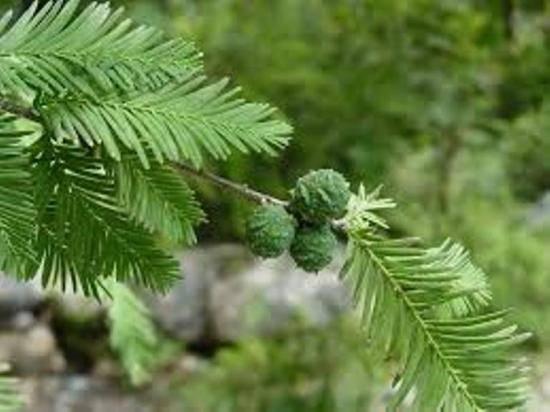 Лиственница: внешний вид, описание, корневая система, длина хвои лиственницы