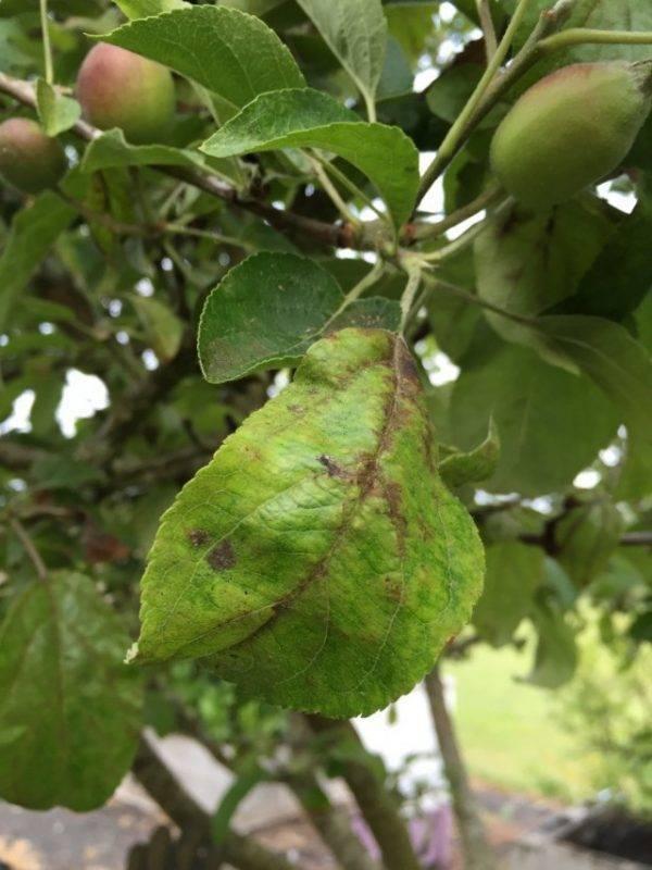 Что делать если чернеют листья на груше, как лечить дерево
