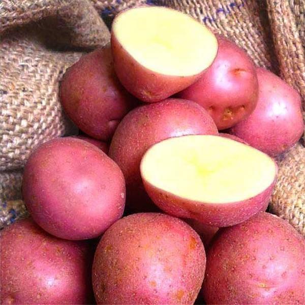 Картофель мерлот — описание сорта, фото, отзывы, посадка и уход