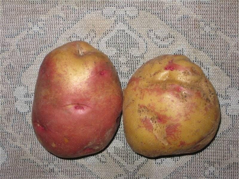 Сорт картофеля «ладошка»: характеристика, описание, урожайность, отзывы и фото