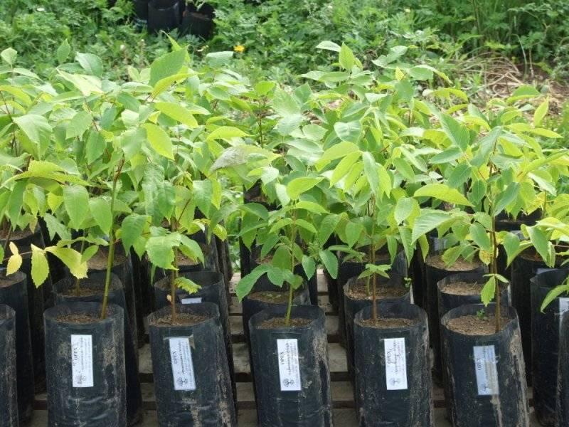 Куст лещины: посадка и уход, фото, выращивание в саду, обрезка, сорта и свойства