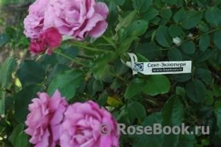 Роза абрахам дерби: описание, правила посадки и ухода