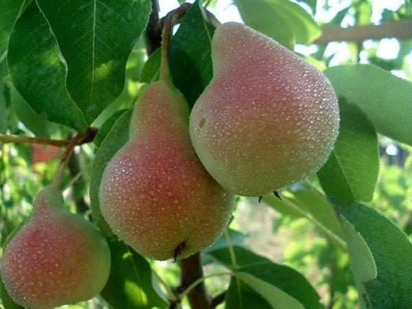 Груша пермячка — описание сорта, фото, отзывы садоводов
