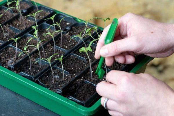Пикировка томатов: когда и как правильно пикировать рассаду помидоров | топ огород