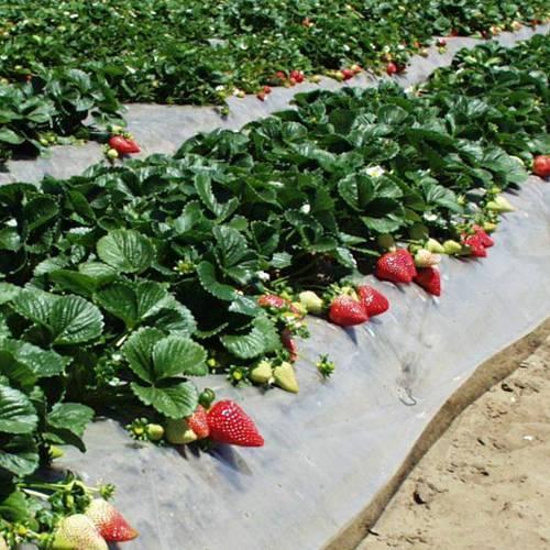Клубника монтерей: описание сорта, отзывы садоводов, фото