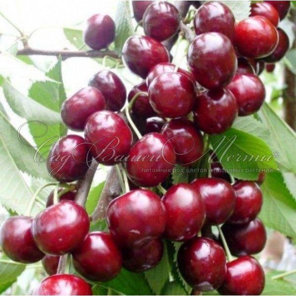 Яблоня хелена — описание сорта, фото, отзывы