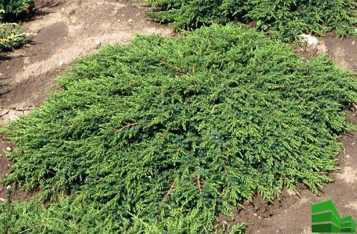 Живая изгородь из можжевельника: фото и советы