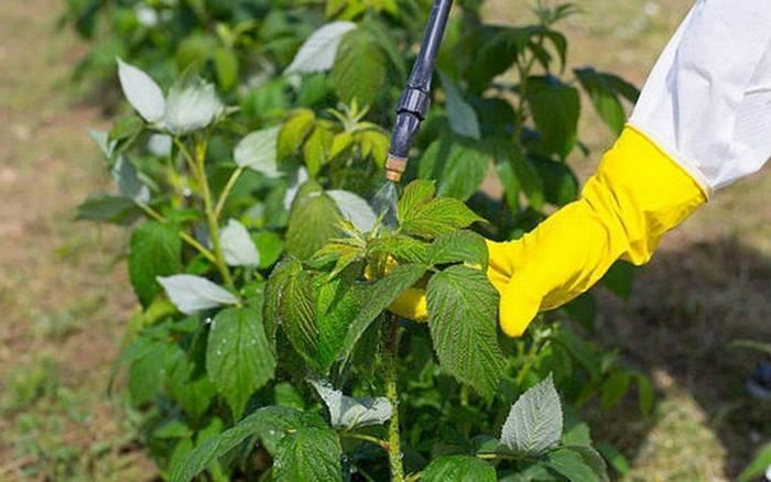 Весенняя обработка малины от вредителей и болезней