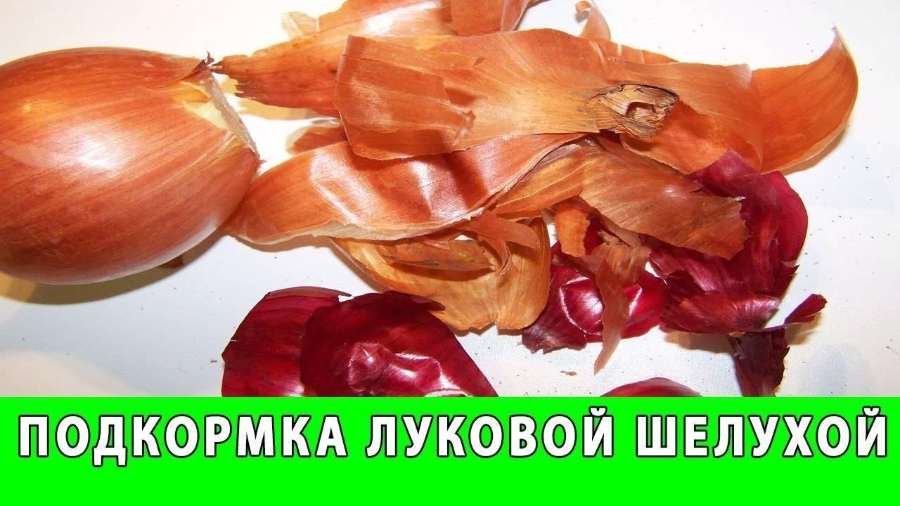 Как поливать рассаду луковой шелухой - правила, инструкция, дозировки