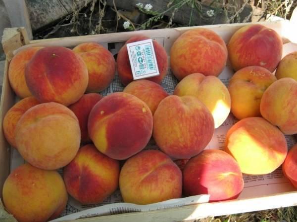 Сравнительная характеристика лучших ранних и поздних сортов персиков