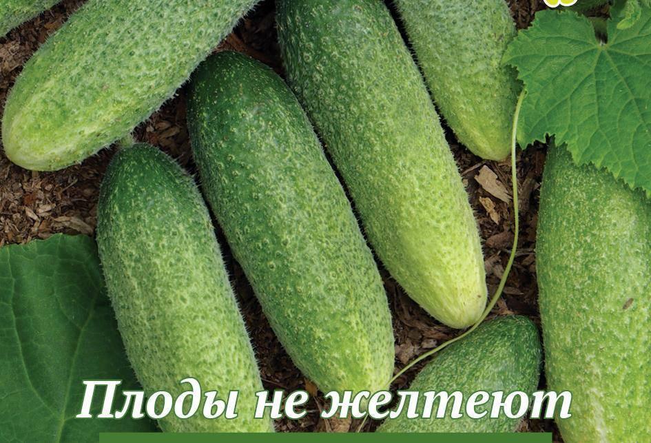 Огурец изящный: описание и характеристика, отзывы