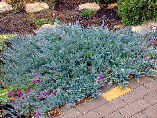 Можжевельник горизонтальный блю чип (juniperus horisontalis blue chip)