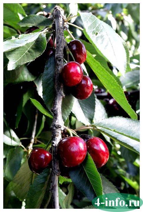 Особенности посадки и ухода сортом вишни щедрая