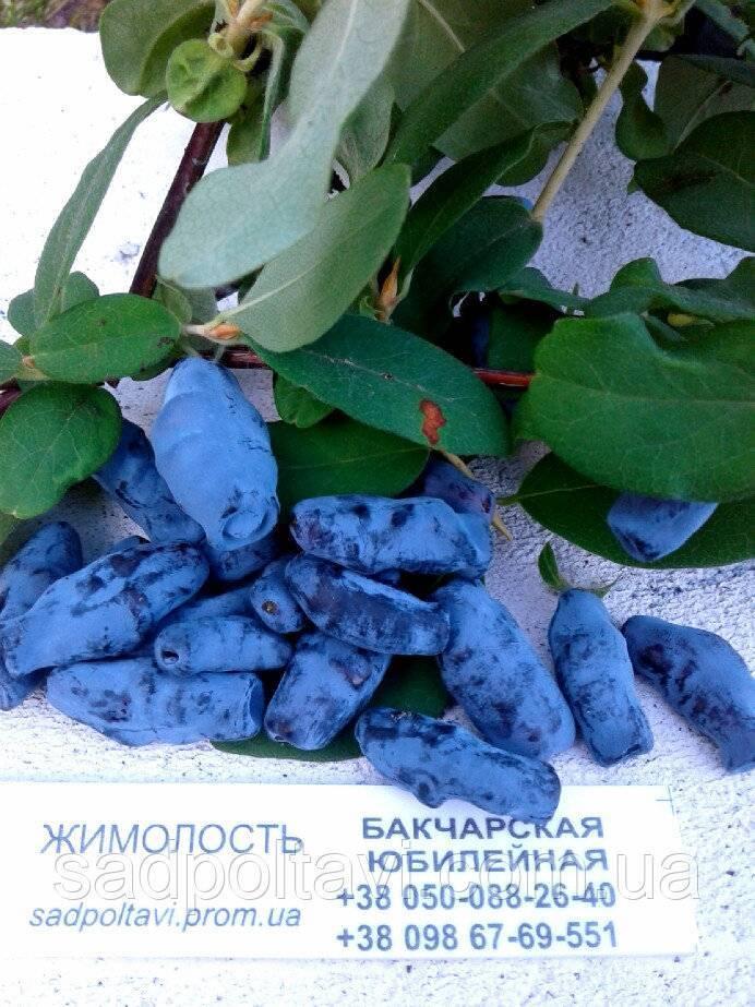 Жимолость камчатская бакчарская юбилейная