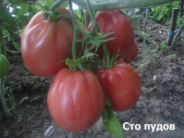 Сладкий и вкусный: описание и агротехника сорта томата сто пудов