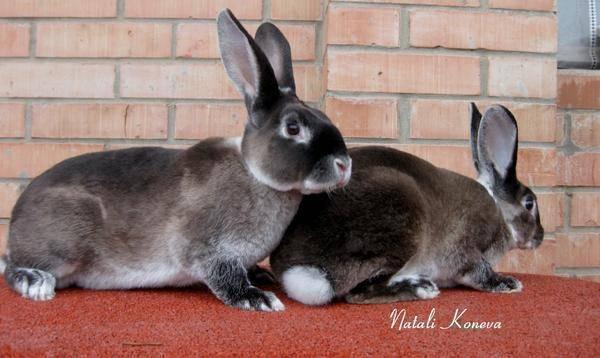 Характеристики продуктивности кроликов рекс