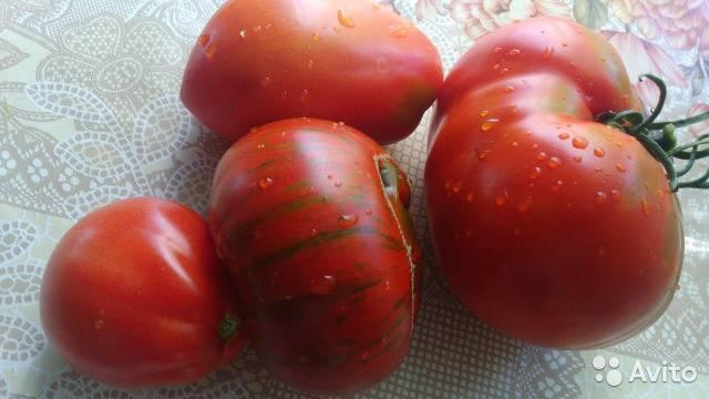 Сорт томатов толстый джек: характеристика сорта и его полное описание