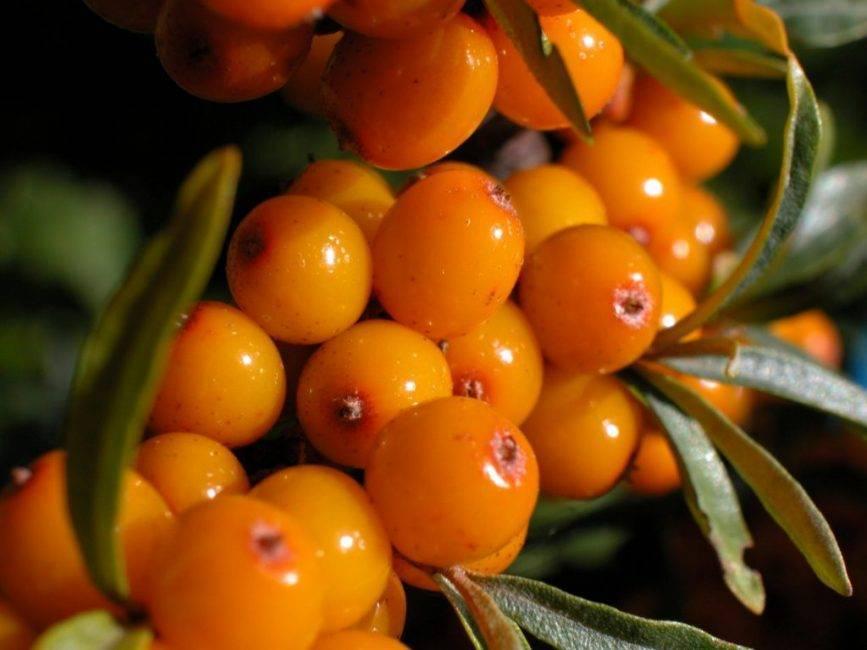 Облепиха даурская — описание сорта, фото и отзывы садоводов