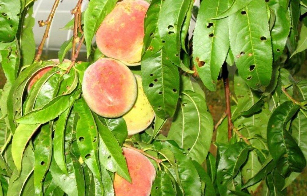Болезни персика: описание с фотографиями и способы лечения