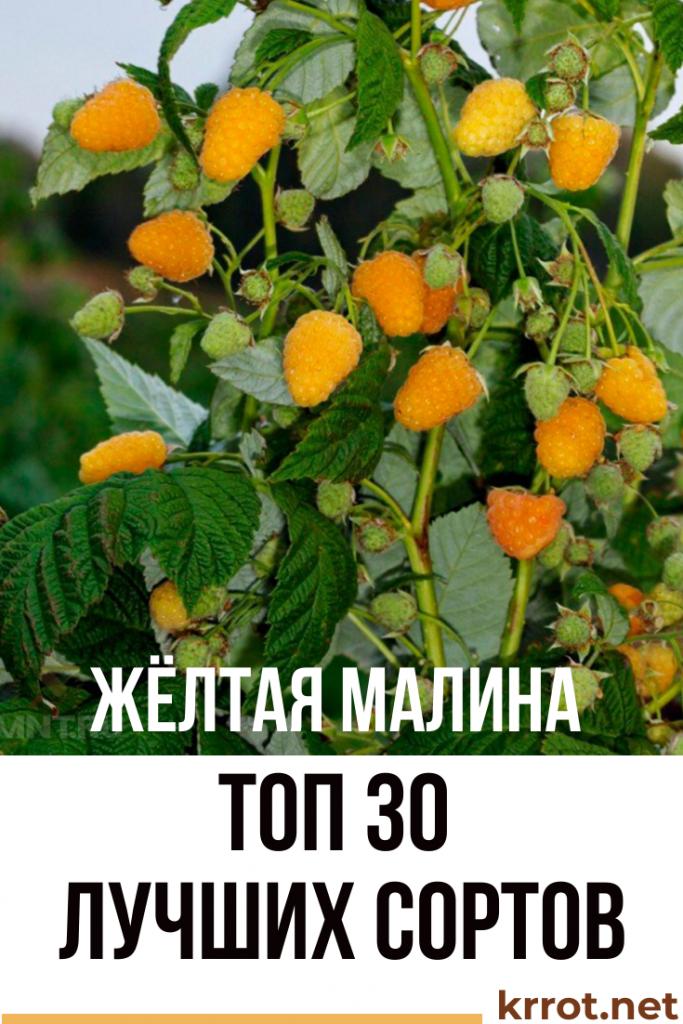 Желтая малина: лучшие сорта, секреты выращивания и ухода