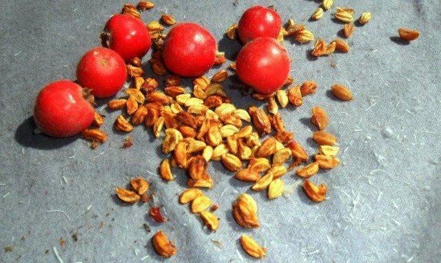 Размножение боярышника черенками, семенами и корневыми отводками