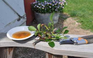 Абрикосовое дерево из косточки в домашних условиях