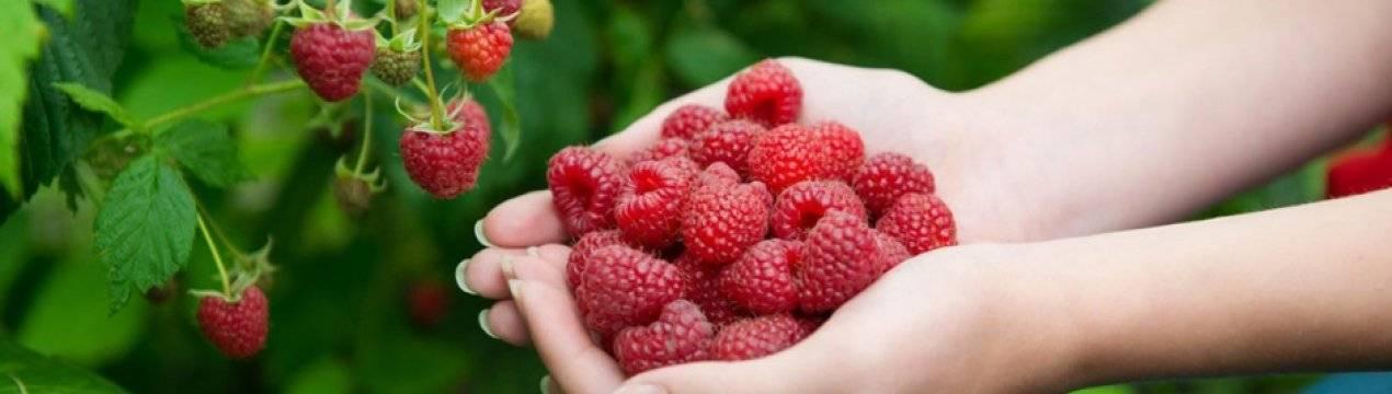 Сорт малины солнышко: преимущества и недостатки, показатели урожайности