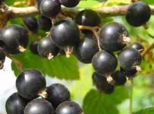 Черная смородина геркулес - устойчивость к морозам и крупный урожай