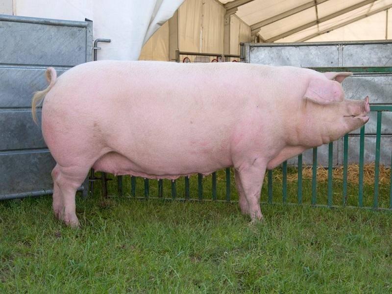 Как правильно разделать тушку свиньи?