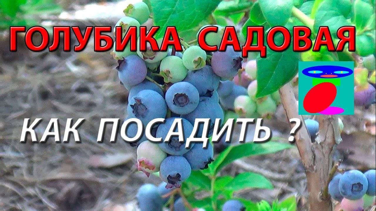 Голубика «денис блю»: описание и характеристики сорта