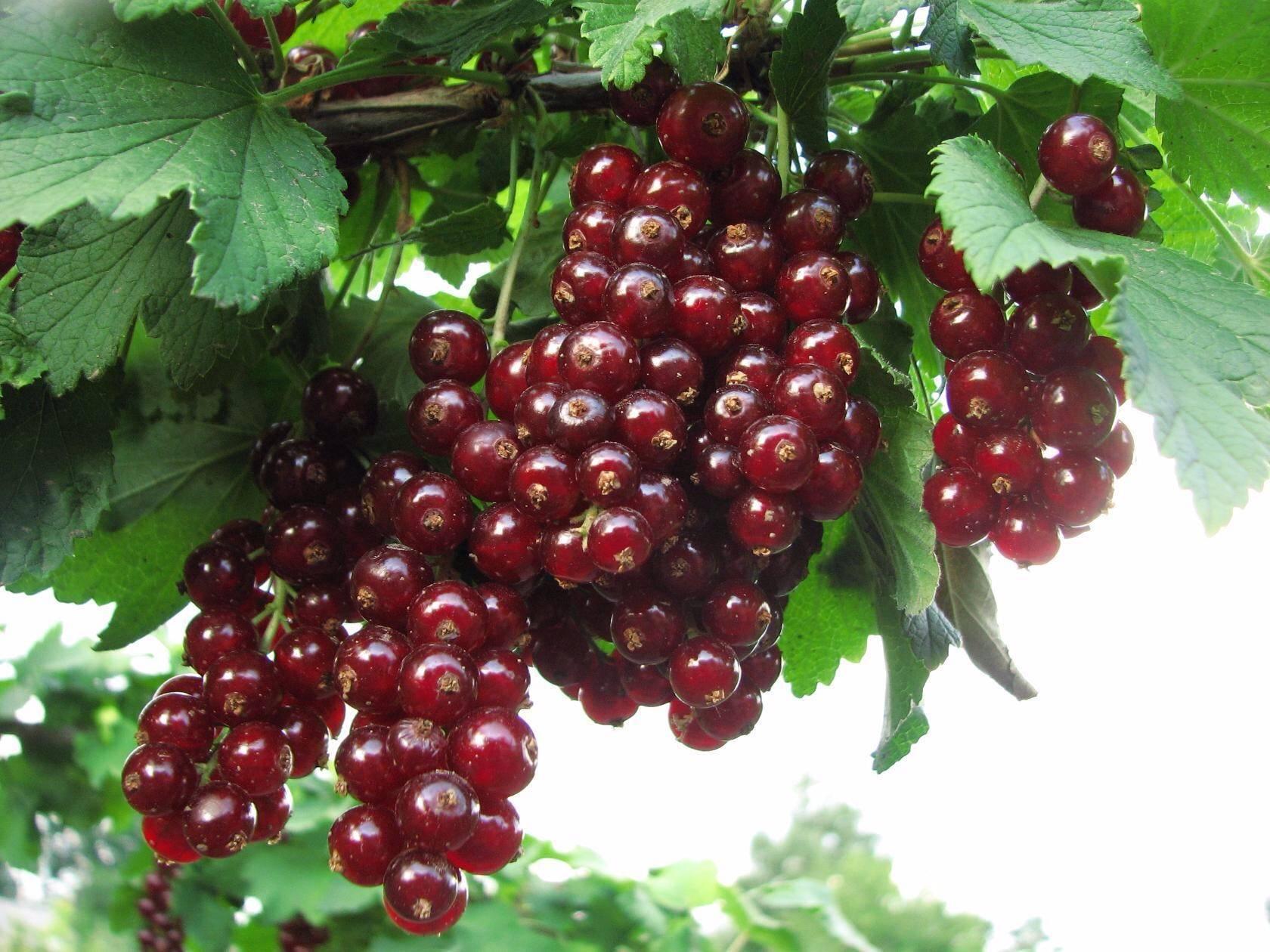 Белая смородина смольянинова — основные характеристики