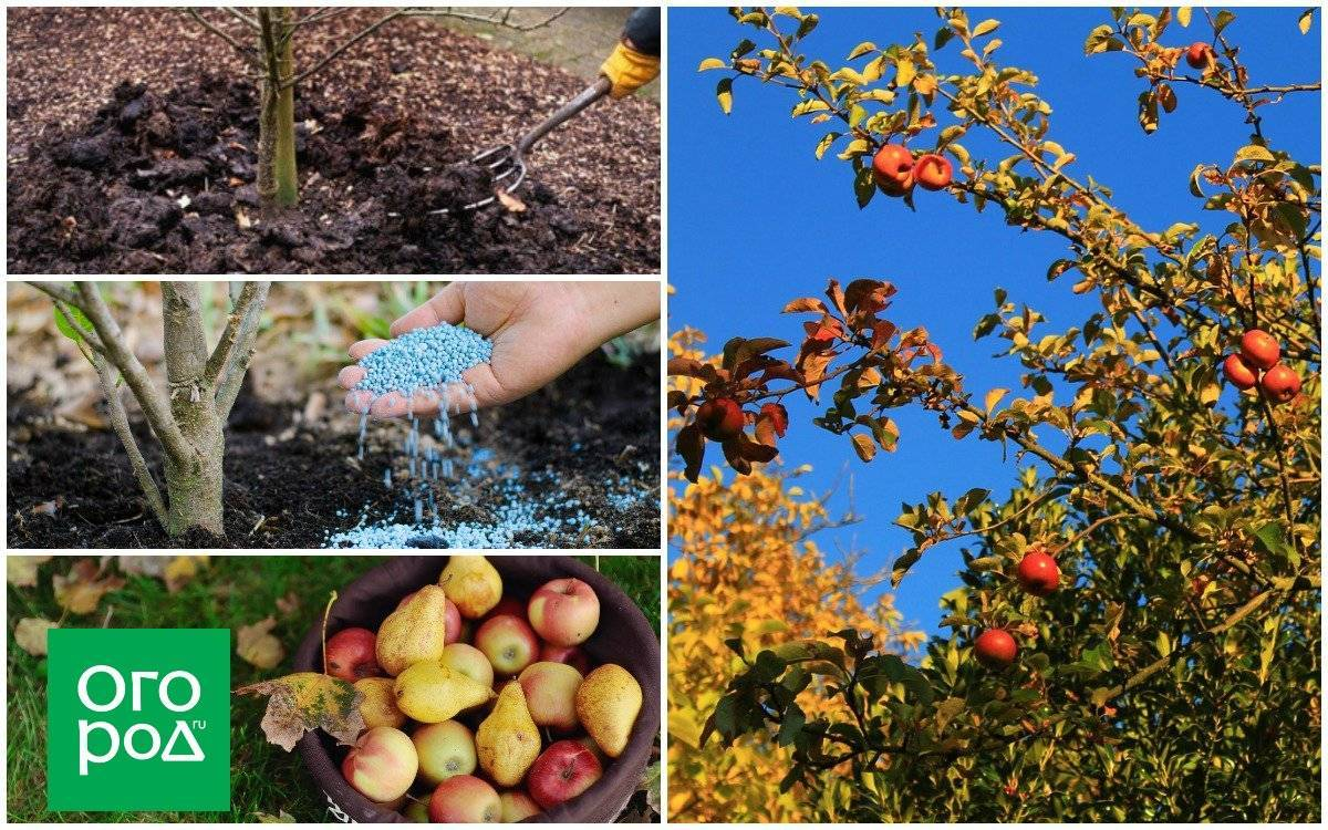 Подкормка груши весной во время цветения и созревания плодов, чтобы был хороший урожай: