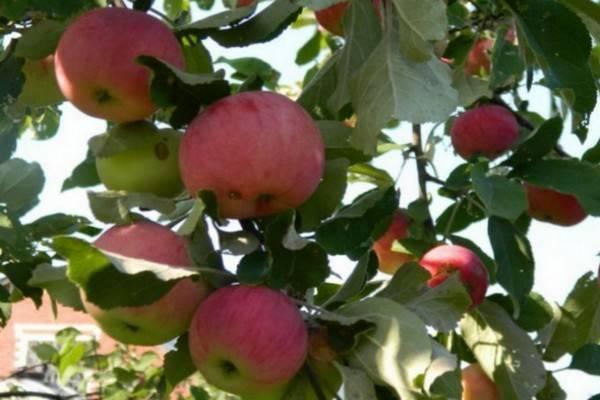 Вас удивит красивыми и сочными плодами яблоня «белорусская малиновая»