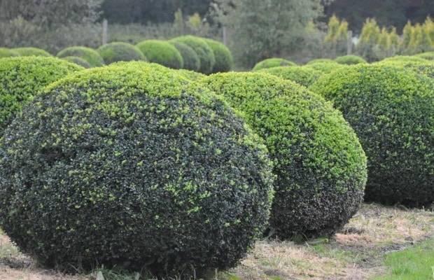 Колхидский самшит: фото, описание, условия выращивания