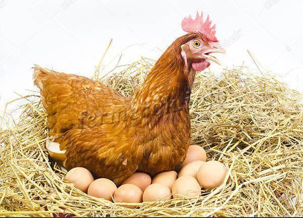 Мясо-яичные породы куриц: фото с описанием направлений разведения для бизнеса в домашних условиях лучших видов цыплят, основные названия кроссов в россии