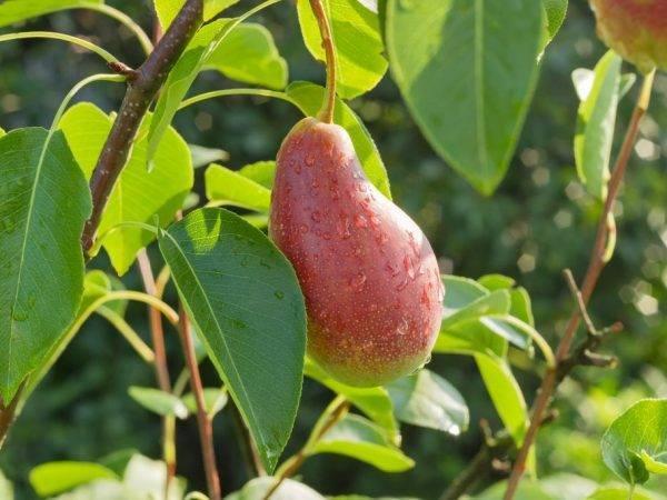 Груша яковлевкая: описание сорта и фото, особенности ухода и выращивания
