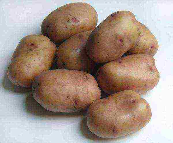 Картофель уладар: описание и характеристика сорта