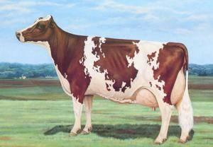 Айрширская порода коров: характеристика крс 2020
