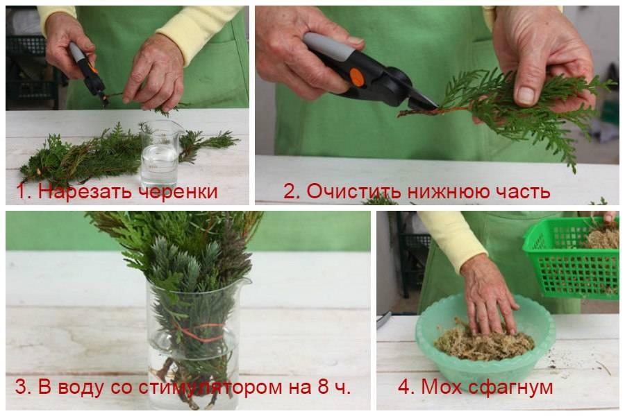 Способы размножения хвойных растений
