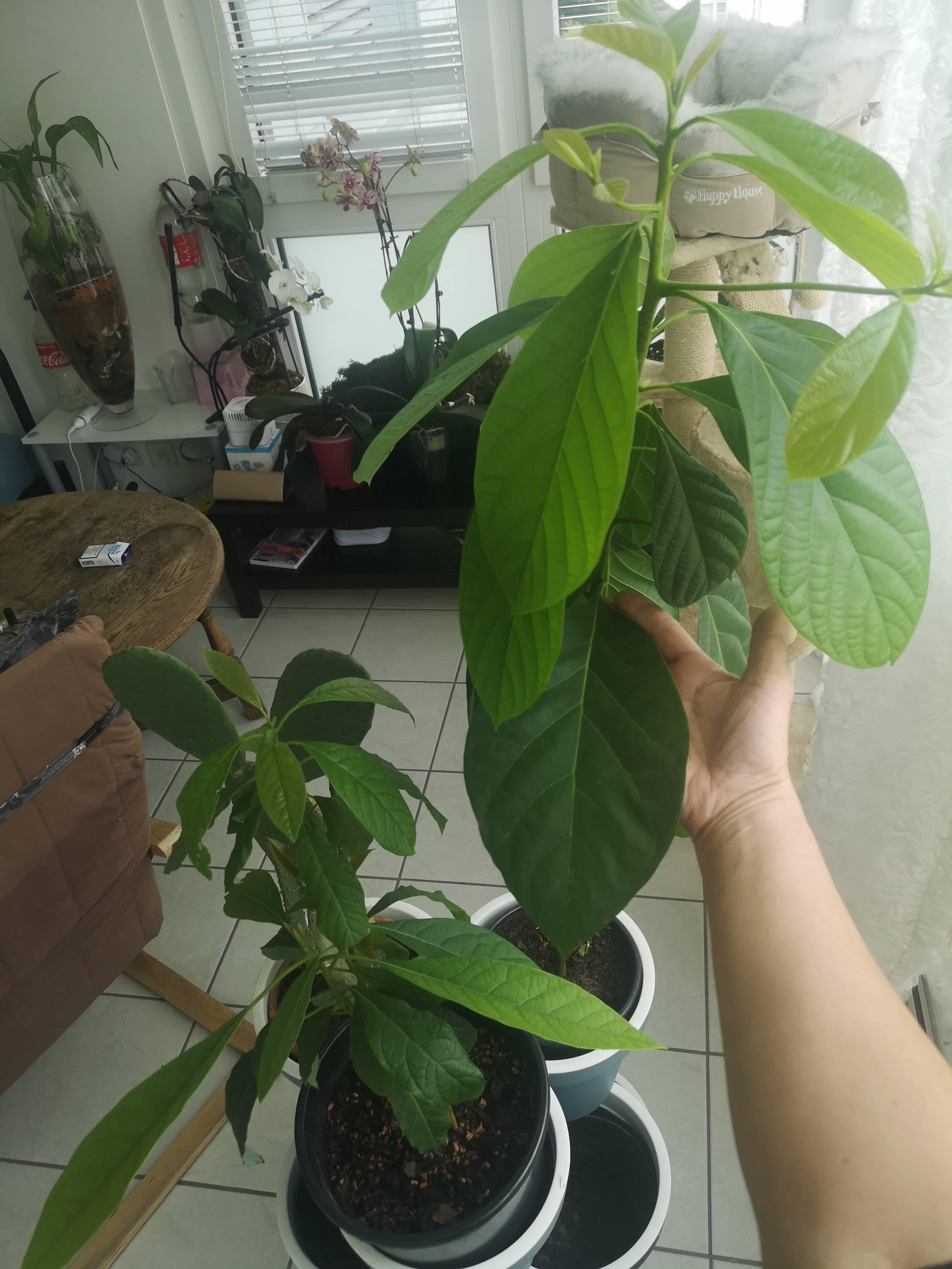Листья авокадо чернеют и сохнут. авокадо сохнет, чернеет. почему? как лечить? то, что требует внимания
