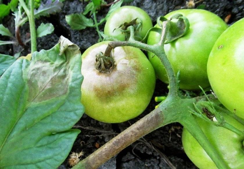 Фитофтора на помидорах как бороться народными средствами — знания нужные каждому огороднику.