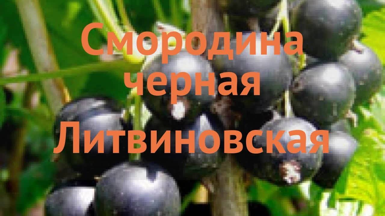 Чёрная смородина шалунья: преимущества и недостатки сорта