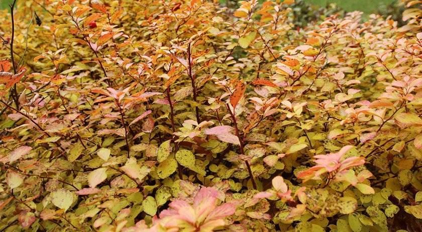 Основные причины, почему у бегонии сохнут листья