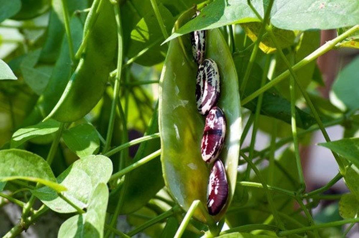 Выращивание лимской фасоли