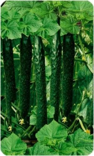 Самые популярные сорта китайских огурцов   образцовая усадьба