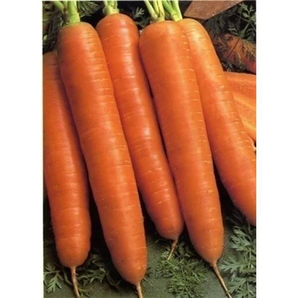 Морковь с «говорящим» названием роте ризен или красный великан. описание сорта, правила посадки, отзывы дачников